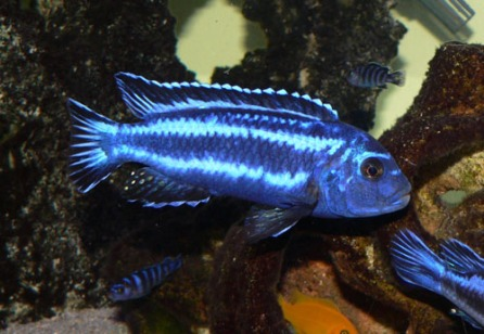 MelanochromisCyaneorhabdosM12_t